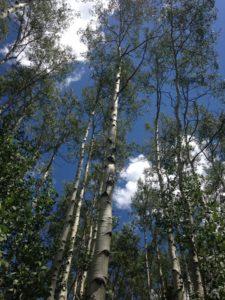 Hiking through the aspen trees