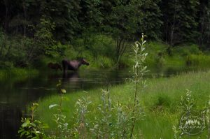 Wildlife in Fairbanks Alaska