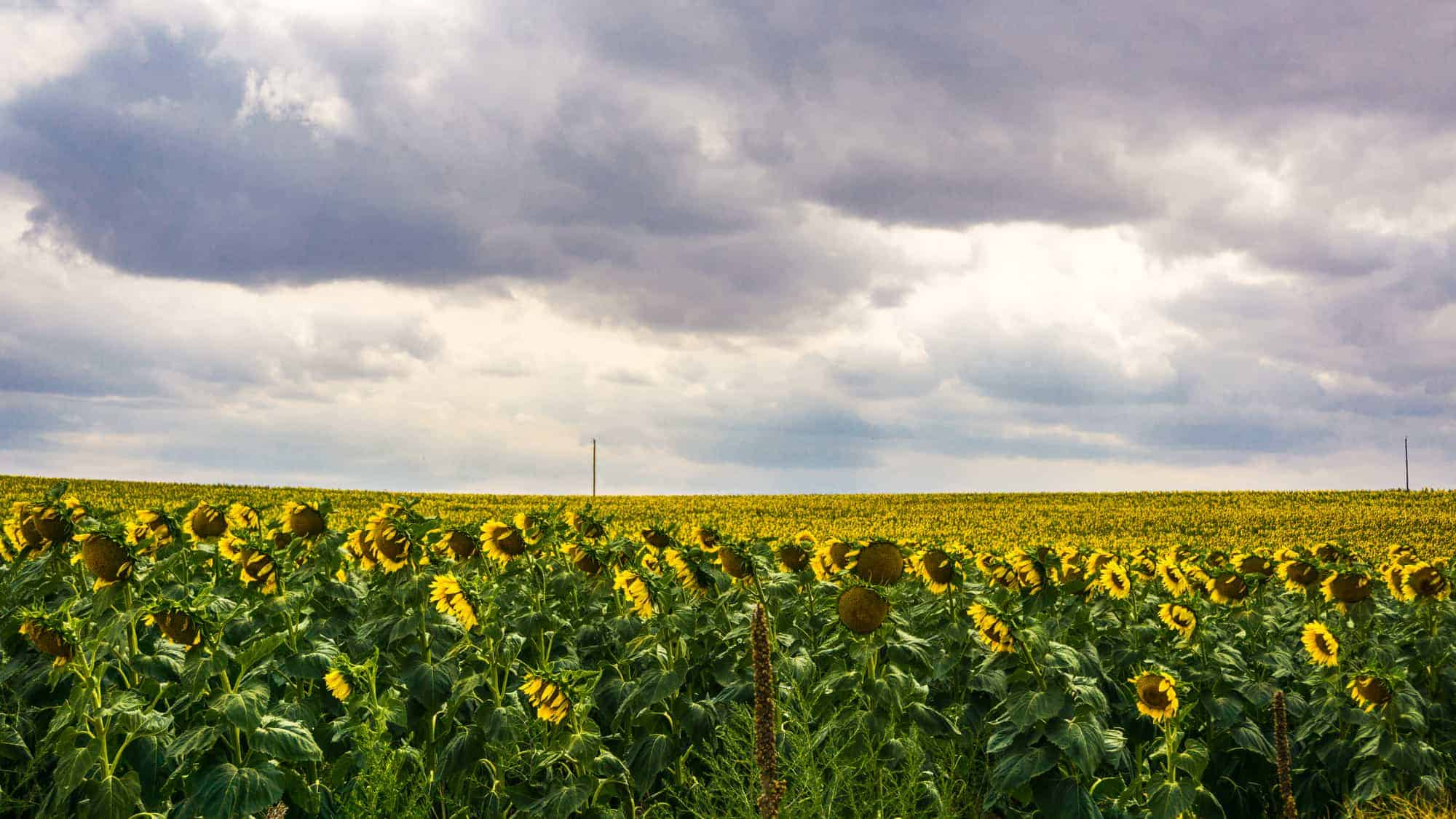 Sunflower Fields 1 - Van Life: Ottawa to Snowbasin