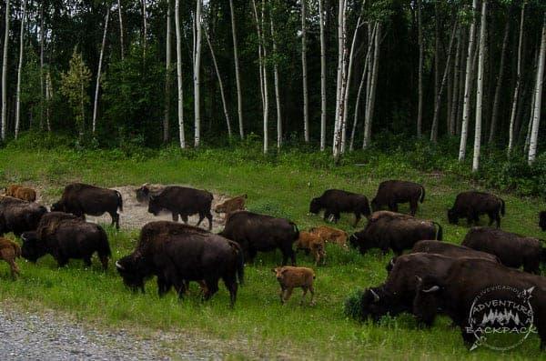 Alaska Highway bison