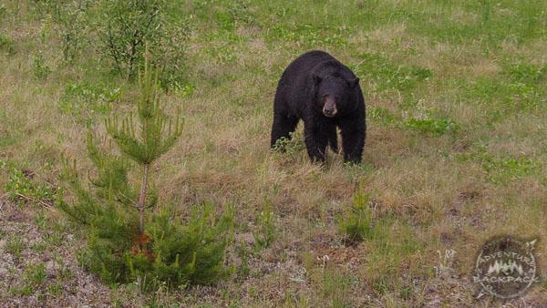The Alaska Highway Wildlife